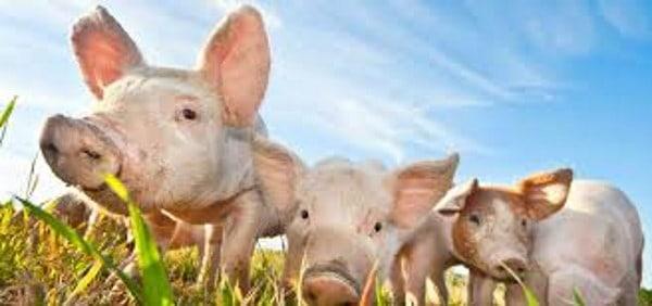 Etichetta Benessere Animale ingannevole: favorire la libertà di scelta dei consumatori