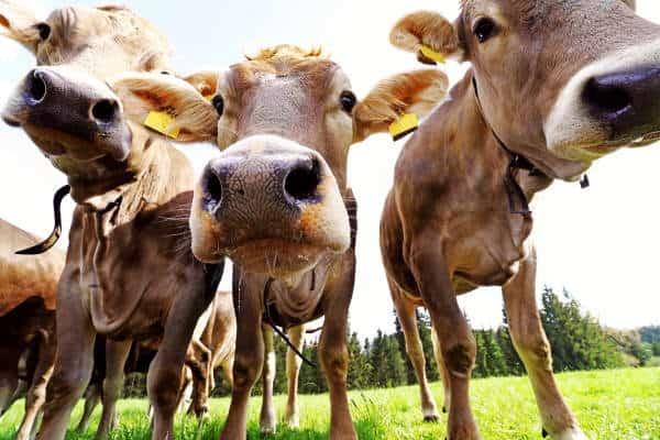 Lokdown-covid. CIWF Italia contro trasporto animali vivi