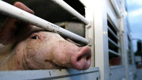 Diciamo basta al trasporto animali vivi. La denuncia di Animali Equality