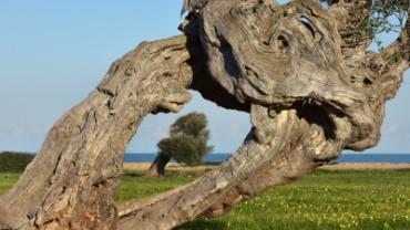 La-Puglia-degli-Ulivi-dopo-la-Xylella
