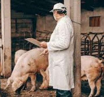Nuovi virus nei maiali, in Cina pericolo di pandemia