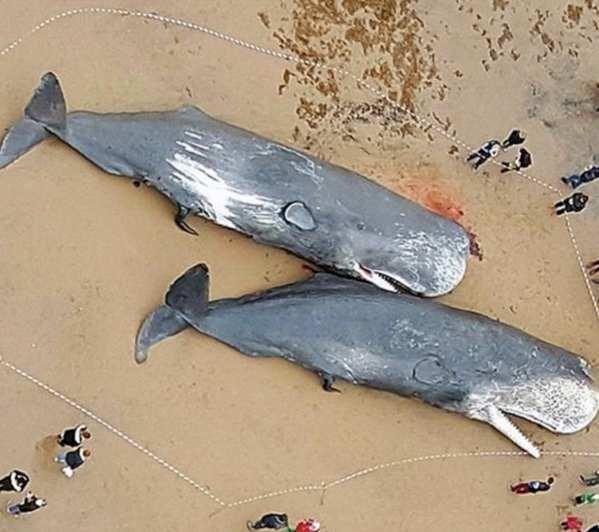 Plastica e virus minacciano balene del Mediterraneo