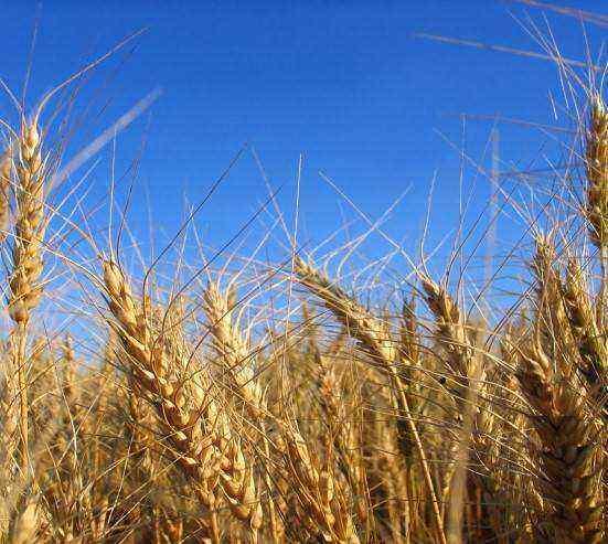 36 vaerietà di grano saraceno