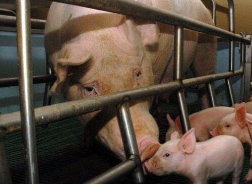 Festa della mamma negata a milioni di scrofe strette in gabbie minuscole con i loro piccoli