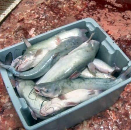 Pesci maltrattati al macello. Inchiesta Animal Equality negli Usa