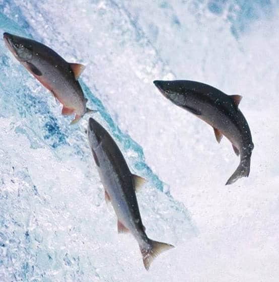 Argentina vieta allevamento salmoni. Nuova inchiesta nel Regno Unito