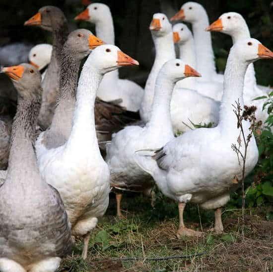 Foie gras vietato nel Regno Unito. Animal Equality raccoglie firme per fermare crudeltà vergognosa
