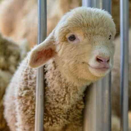 L'orrore dei macelli visto da Animal Equality