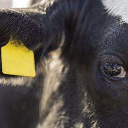 Macello incubo senza fine. Ex operatori testimoniamo abusi per Animal Equality